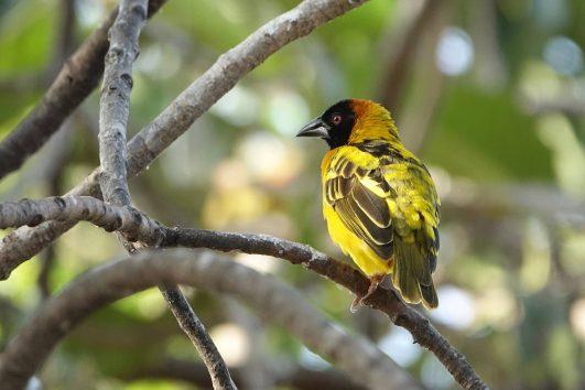 Weaver Bird
